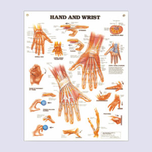 Anatomiset julisteet